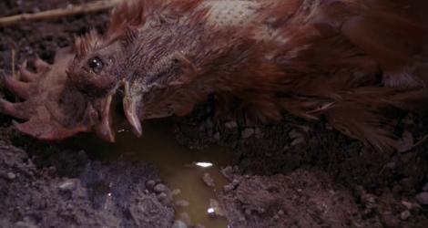 The Curse Chicken Attack